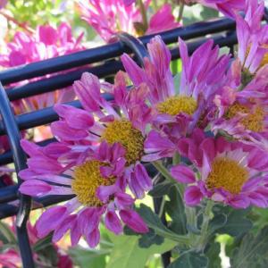 菊は11月の花