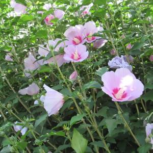 川沿いに咲くムクゲ