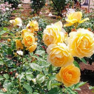 ◆ 今年も青いバラに会いにいく ◆