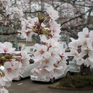 19年 多摩川河川敷 桜開花状況