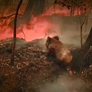 【シーシェパードは何もしない】30年後に「野生コアラいない」 森林火災で生息地打撃 豪東部州