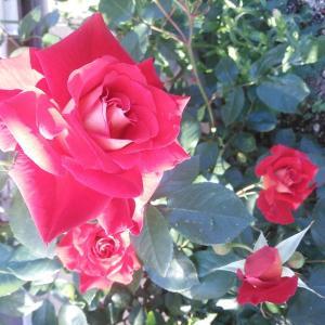 ちょっとムカつくくらいの薔薇があるといい