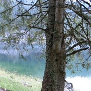 樅(モミ)の木のずっと湖見てきたり