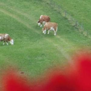 牛たちが草食んでいる山の宿