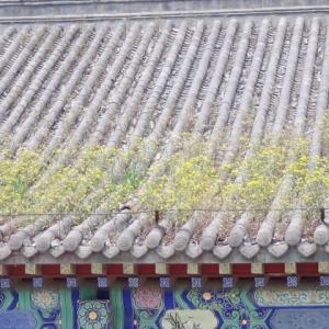 瀋陽の故宮の屋根に草生うる