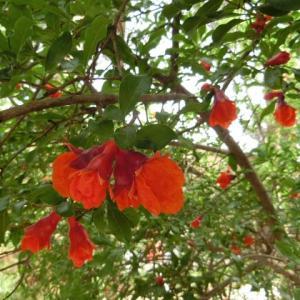 拝火教寺院の庭に咲く柘榴(ざくろ)