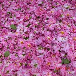 薔薇薔薇薔薇これから絞り薔薇水つくる