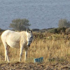 餌袋から顔を上げたる白き馬