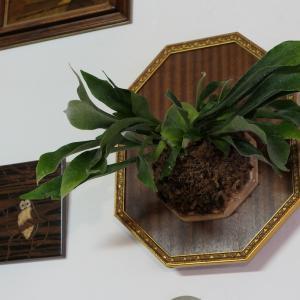 観葉植物・ビカクシダはじめました。