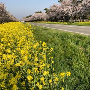 【大潟村】桜と菜の花まつりに行ってきました♪
