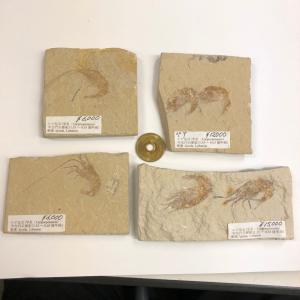 【2019年10月19日】化石 エビの化石