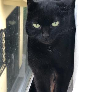 保護した外猫、黒猫のクーたん
