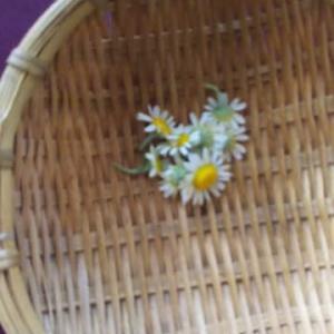 カモミールが花を付け出しました
