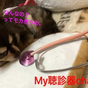 聴診器で心音チェック。モカの具合。ぽんのクマさんとクレア