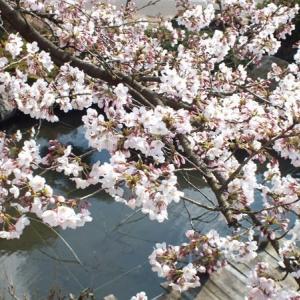 自宅の桜が満開になった