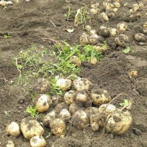 ジャガイモの収穫です