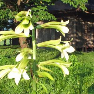 オオウバユリの開花