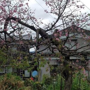 今頃、桜が開花?