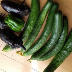 野菜の初もぎ