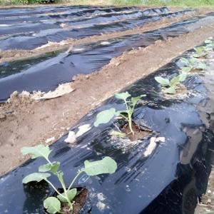 キャベツとカリフラワーを植える