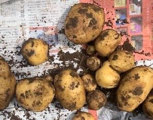 ジャガイモの収穫だ!   男爵イモ系のキタアカリ