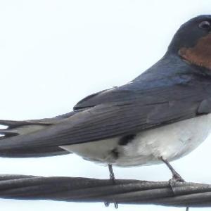 まだまだ5月の野鳥を   『月刊ひとり野鳥の会』5月最終週号
