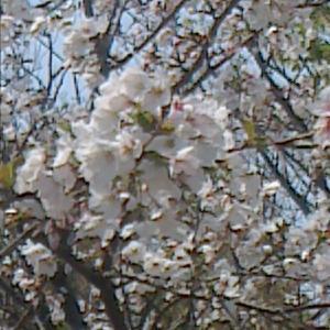 見ごろの桜
