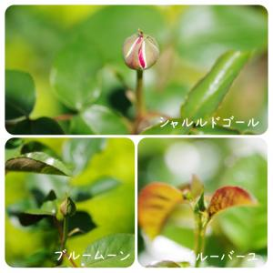 …家薔薇日記