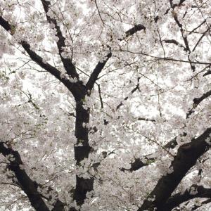 雪にも負けない力強い桜