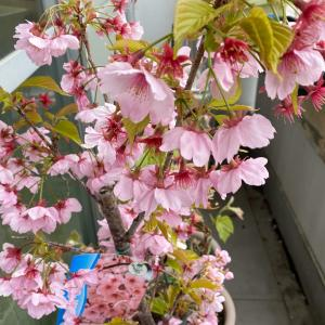 3月最終日のベランダ菜園