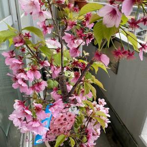 この雨で桜が