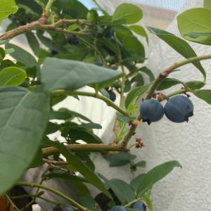 ブルーベリー収穫 第一弾