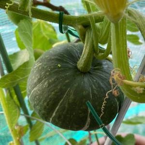 かぼちゃに新しい葉っぱが