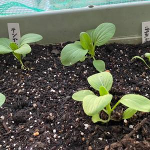秋野菜 定植