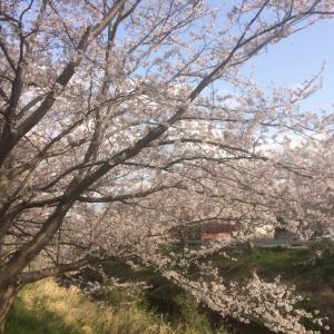 桜の並木道散歩