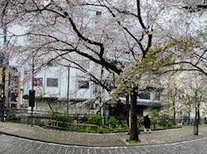 人気のない祇園白川に咲く桜