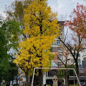 京都・町中の秋 ~ 御射山公園の銀杏