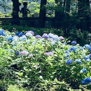 初夏の青山通り 〜 高橋是清公園のアジサイ