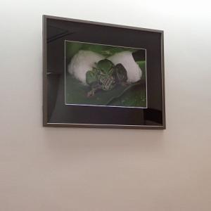 梅田整形待合室にモリアオガエルの産卵の写真。