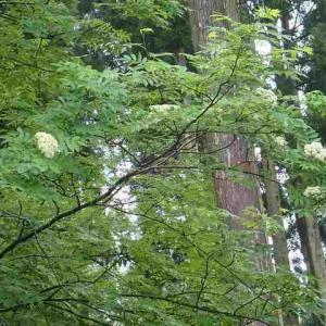ナナカマド咲く。