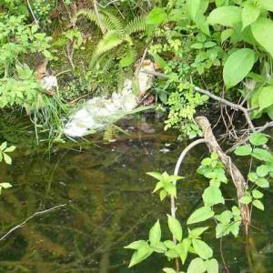 東山いこいの森にもモリアオガエルのタマゴ。
