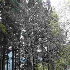 東山いこいの森で一番遅く咲くサクラもチラホラ咲き始めました。