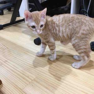 猫の巨大臍ヘルニア