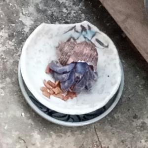 ヤドカリが猫の餌を食べに