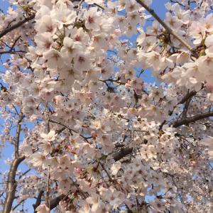 満開の桜 & 珈琲