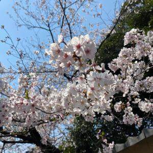 桜、満開と散る前の見分け方