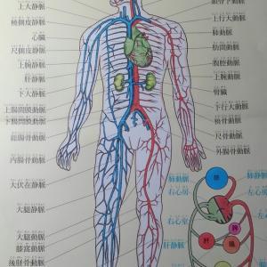 皆さん、心臓の位置って体の中央部分と言う認識ありますか?