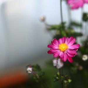菊咲き八重のシュウメイギク