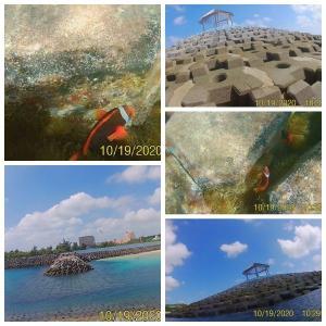 【宮古島/わいわいビーチ】テトラポットの隙間にハマクマノミだらけ!コンクリに小さな珊瑚と人工と自然の共存が面白い