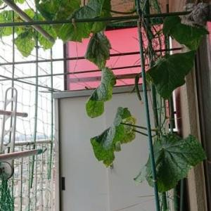 こあまちゃん(ミニトマト)・なるなる(キュウリ)・よくなるゴーヤ(ゴーヤ)の水耕栽培 2020年6月22日
